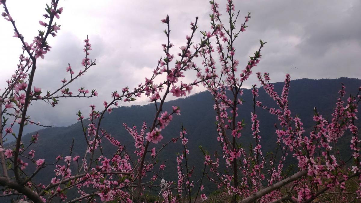 阿朗水蜜桃綻放在枝頭