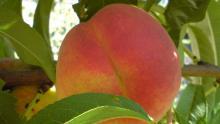 憶那一年的水蜜桃月